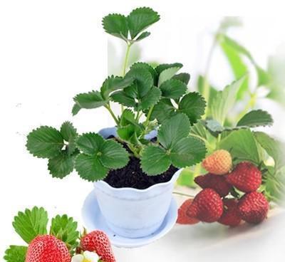 上饶红霞草莓苗草莓树苗批发多少钱