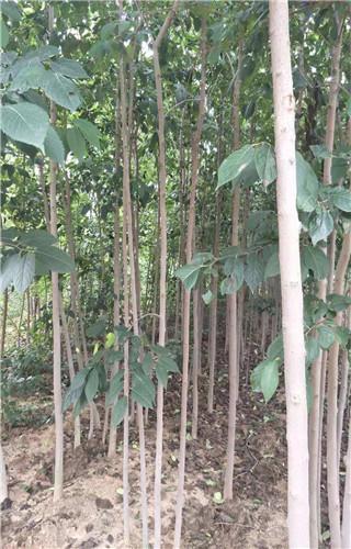 浙江2公分杜仲苗种植基地