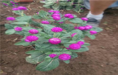 泰州袋苗豐花月季哪個地方有種的