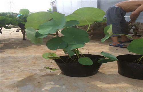 泰州金焰繡線菊可以種植嗎