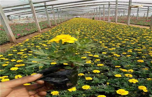 泰州雙色盆向日葵種植指導